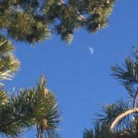 Луна в сосновых ветках :: Оксана Ярёменко