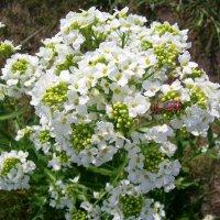 А хрен тоже красиво цветет :: Galaelina