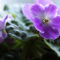 цветы на подоконнике-фиалочки :: Олег Лукьянов