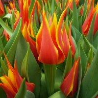 тюльпаны - цветки их так ярки, как пламя, горят..... :: Galina Leskova