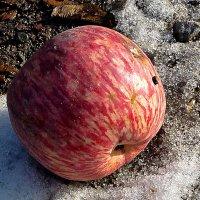 """""""Падлое яблоко"""", как говорила моя мама про упавшее яблоко... :: Асылбек Айманов"""