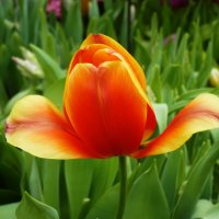 Как он красив – сей пламенный цветок! :: Galina Leskova