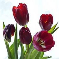 Тюльпаны :: ЕСЕНИЯ ♥