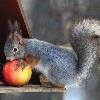 Белка с яблоком :: Галина Новинская