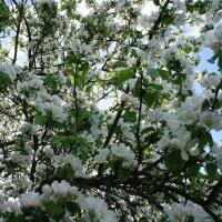 Яблоня в цвету - какое чудо! :: Елена Павлова (Смолова)