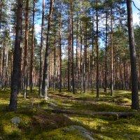 Солнечный лес. :: zoja