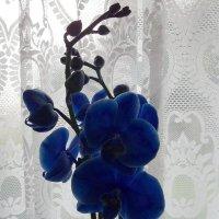 Моя новая орхидея :: Natalia Harries