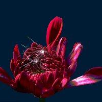 Хризантемы 7 по фото laana ladas :: Владимир Хатмулин
