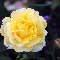 городские цветы-роза позолоченная :: Олег Лукьянов