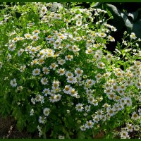 Поздние цветы :: Светлана