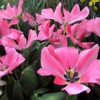 Розовые тюльпаны :: Ольга (ОК)