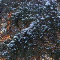 Сосны в снегу. :: Любовь К.