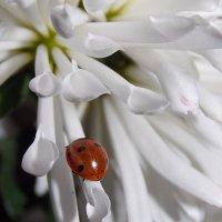 Вот она какая осень, это хризантема ..... :: *ALISA* .