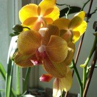 Желтая орхидея :: Ириша ****