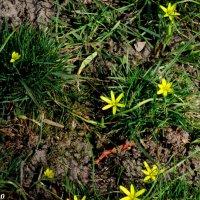 Гусиный лук, или подснежник желтый :: Нина Бутко