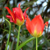 Тюльпаны. :: Валерьян