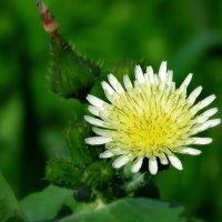 Весенние цветочки :: Николай Волков