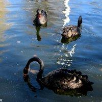 Чёрные лебеди :: Нина Бутко