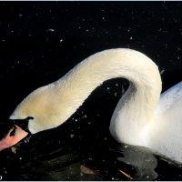 Лебединая шея :: Нина Бутко