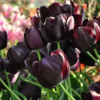 Тюльпаны :: krealla 1