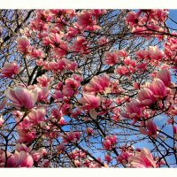 Магнолия цветет :: Liliya