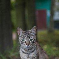 Дворовый кот :: Сергей Тетерев