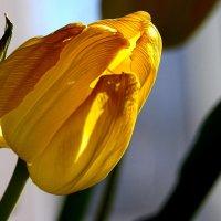 Желтые тюльпаны.. :: Валерия  Полещикова