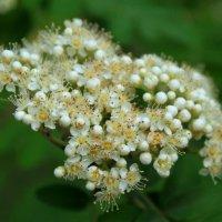 цветы рябины :: Горкун Ольга Николаевна