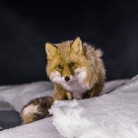 Ночная гостья. :: Юрий Харченко