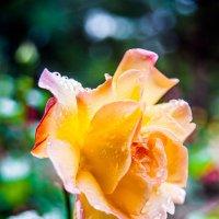 Роза после дождя.... :: Виктор