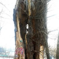 Старое, старое дерево :: Мила