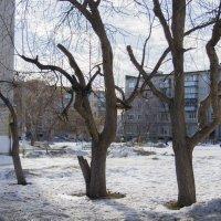 Какие наши клёны, какая наша жизнь... :: Михаил Полыгалов