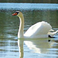Белый лебедь, лебедь чистый... :: Galina Dzubina
