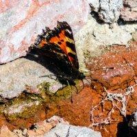 Первая бабочка :: Анатолий Антонов