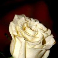 ее величество - роза :: Арина Овчинникова