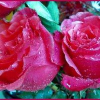 Плачут розы под дождём... :: Светлана