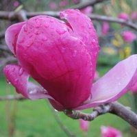 После дождя -цветок Суланжи :: valeriy khlopunov