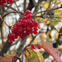 Красна ягода :: Leonid Rutov