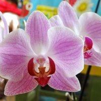 Орхидея(Фаленопсис розовый (Phalaenopsis rosea) :: Алексей Цветков