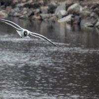 Хроника атакующей чайки :: Юрий Муханов