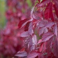 Осенних листьев багрянец. :: Борис Руненко