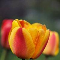 Тюльпаны :: Оксана Лада