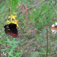 Бабочки летают.. :: ВАЛЕНТИНА ИВАНОВА