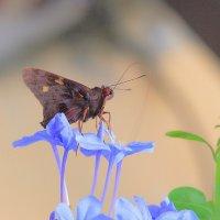 Тропическая бабочка.Остров Гаити. :: Александр Гризодуб