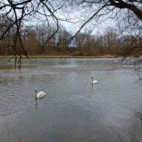 Лебеди на реке Лех. :: Galina Dzubina