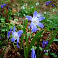 Весны прекрасные глаза... :: Galina Dzubina