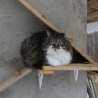 Суровая деревенская кошка Барса :: Игорь Смолин