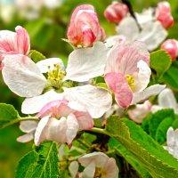 Яблони в цвету, весны творенье... :: Андрей Кротов