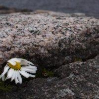 Stone Flower :: Александр Павленко