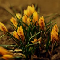 Первоцветы. :: Тамара Бучарская